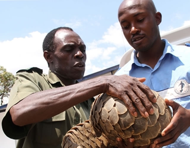 Tatenda Gunguwo hands over a pangolin which he caught in Mutoko to National Parks and Wildlife Management Authority senior extension interpretation officer Mr Timothy Kuguyo at Mabelreign Police Station in Harare yesterday