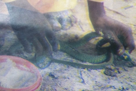 Madzibaba Samson handling the snake after it was sprinkled with mealie-meal
