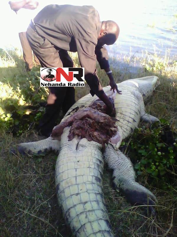 Crocodile cut open after eating human being in Kariba ...