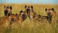 Granny attacked, eaten by hyenas
