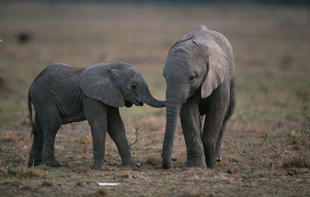 Zimbabwe's baby elephants getting sold to China zoos