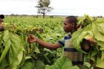 Farm workers harvest tobacco leaves at a farm ahead of the tobacco selling season in Harare March 3, 2015. REUTERS/Philimon Bulawayo