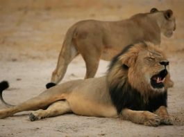 "Much-loved Zimbabwean lion ""Cecil"", pictured on October 21, 2012, was lured outside the Hwange National Park boundaries by bait and shot by a bow and arrow (AFP Photo/)"