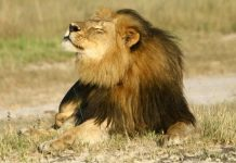 Cecil was skinned and beheaded after he was shot last month