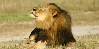 Cecil was skinned and beheaded after he was shot