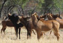 South Africans nabbed with 29 sables on Zimbabwean border