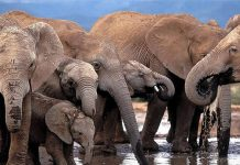 Over 55 elephants were poisoned by cyanide in Zimbabwe since early 2015