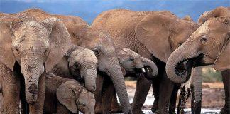 Over 55 elephants were poisoned by cyanide in Zimbabwe since early 2015