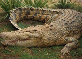 File picture of crocodile