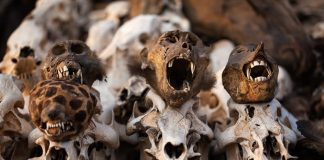 Mum, son busted with baboon skull in witchcraft storm