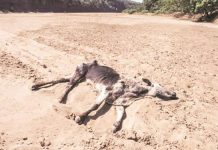 Drought kills at least 19 300 cattle in Zimbabwe
