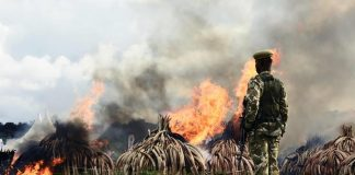 Kenya Wildlife Services (KWS) rangers stand guard around illegal stockpiles of burning elephant tusks
