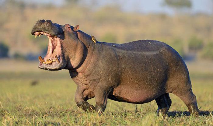 Hippo Attack Victim 60177   ENEWS