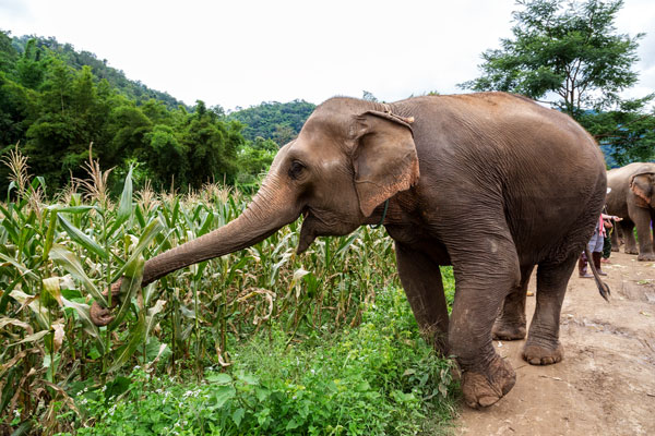 Villagers in Sanyati are counting their losses in the current agricultural season after marauding elephants destroyed their crops.